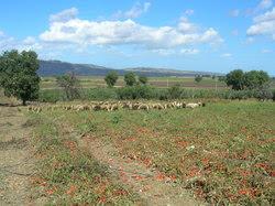 pecore e pomodori